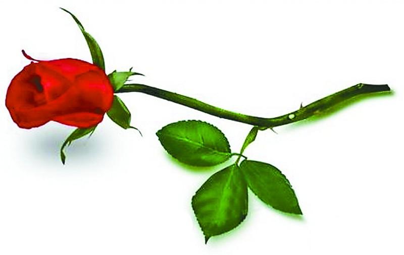 一支玫瑰一枝玫瑰一支玫瑰花一朵玫瑰