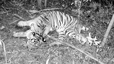 东北虎最喜欢吃的就是野猪