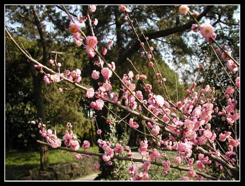 中国十大梅园(梅梅搜集整理) - 梅梅 - 梅苑de弹琴玉楼与吟歌仙阁