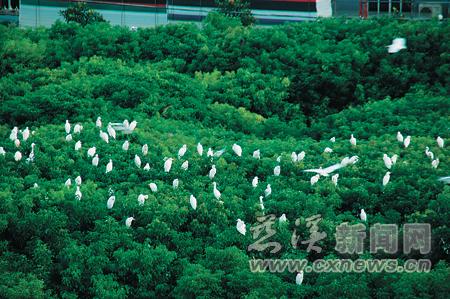 美嫁衣 樟树林成为 鸟儿的天堂