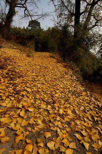 秋去冬来,大堰山坳里的银杏树叶纷纷落地,一片金黄色,恰如满地铺金.