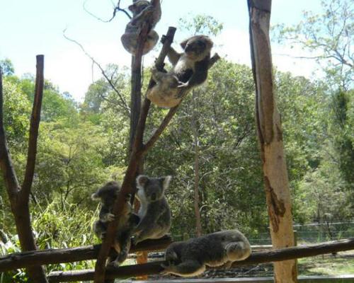 可爱又玩皮的考拉熊很喜欢爬树玩耍,还喜欢在树上睡觉,一天能睡18个