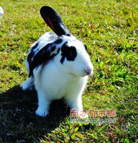 大黑兔子图片大全可爱