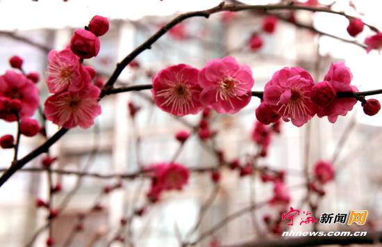 缑城腊梅报新春