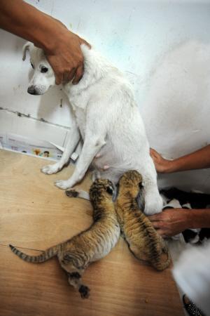 据动物园的工作人员介绍,现在两只狮虎兽情况稳定,一般情况下,半月