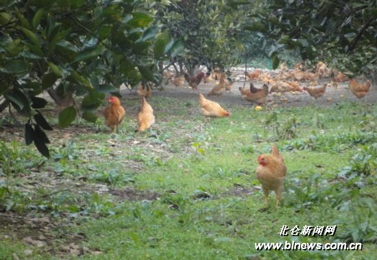 散养鸡满山跑