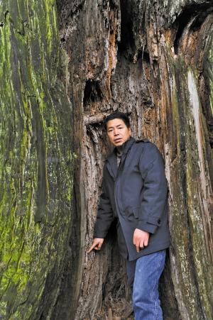 树皮烂树枝遭人折 千年圆柏正逐渐走向衰亡