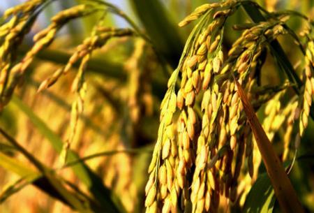 麦穗花织法步骤图解