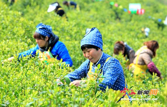 桑洲举行农家妇女采茶赛