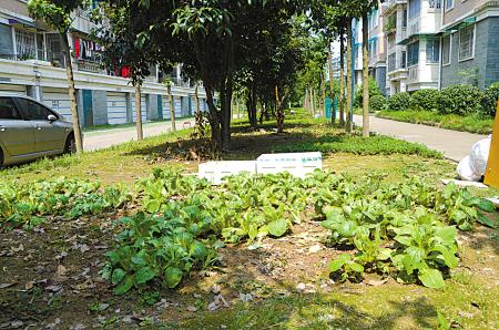 小区绿化带变菜地 物业:已联系城管进行整治图片