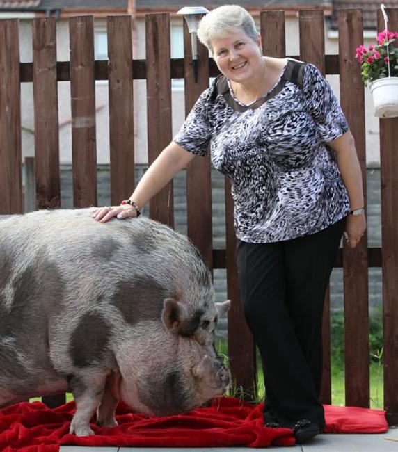 """肥猪 变身 迷你/好""""杯具""""迷你宠物猪变身254斤大肥猪"""