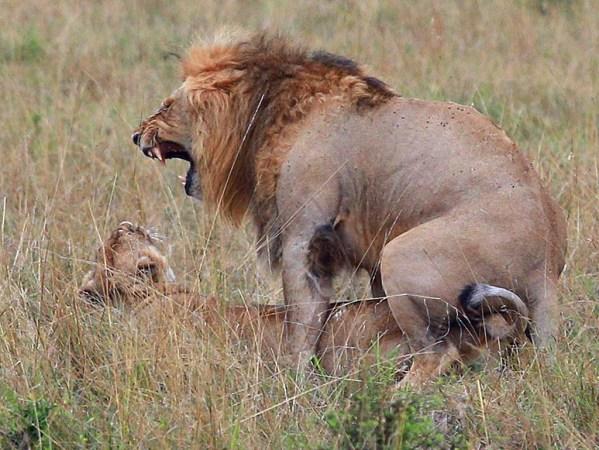 动物暴力性交 肯尼亚马赛马拉大草原和马拉河动物掠影图片
