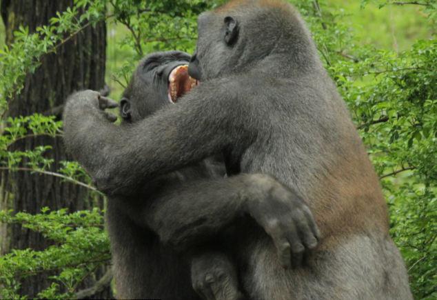据英国《每日邮报》5月20日报道,纽约市最北端的布朗克斯动物园发生了有意思的一幕:两只年轻的大猩猩相互挥拳猛击,争吵不休,它们追逐、啃咬、推搡彼此。动物学家迈克尔记录下了这一精彩瞬间。他说,抛开这些照片不说,其实大猩猩是温文尔雅的动物。