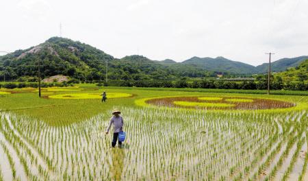 这块稻田由常规绿色水稻平铺打底,使用黄色和紫色等不同颜色的水稻在
