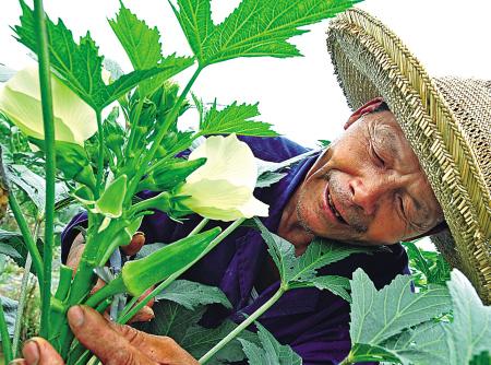 黄秋葵施用有机肥的技术