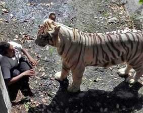 操白虎幼女_印度动物园白虎咬死一男学生