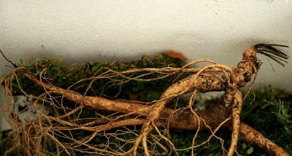 5,等参出土后,将其放在一段桶状树皮(里面垫上青苔)里,装适量的原坑