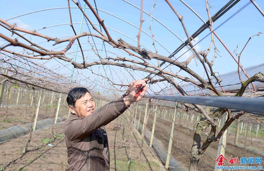 该镇葡萄种植户积极做好葡萄剪枝等管