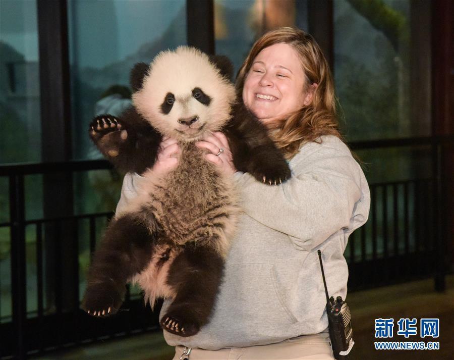 华盛顿国家动物园大熊猫接受体检