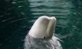 西安:为大白鲸做孕前体检