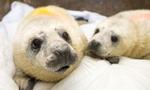 世界首例双胞胎野生灰海豹