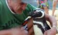 难忘救命情 企鹅每年游8000公里探望恩人