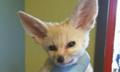 《疯狂动物城》引燃宠物狐狸网售
