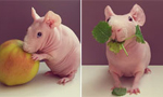 萌!豚鼠酷爱和美食合影