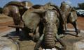 肯尼亚将焚烧100多吨象牙和犀牛角