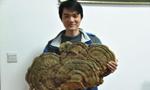 湖南发现罕见巨型野生大灵芝