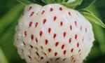 新型草莓澳大利亚上市:雪白果肉