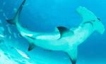 海底活火山惊现鲨鱼悠游