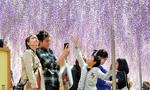 日本紫藤盛开 风中摇曳如画