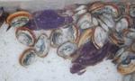 青岛小港渔码头现罕见紫壳梭子蟹