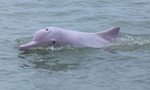 中华白海豚嬉戏畅游北部湾