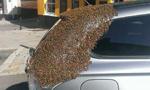 蜂后被困车内 2万蜜蜂为救驾围攻汽车