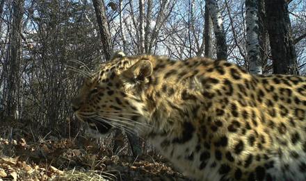 黑龙江拍到野生东北虎和东北豹影像
