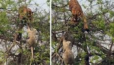 母猴虎口救子 身手敏捷成功脱险