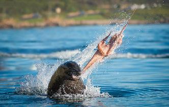 南非海豹章鱼激烈厮杀上演生死大战
