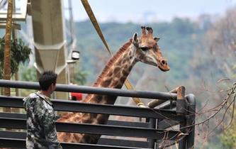"""长颈鹿搬家 """"个高胆小""""真不易"""