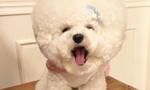 韩国一比熊犬毛发修剪成大绒球惹人喜爱