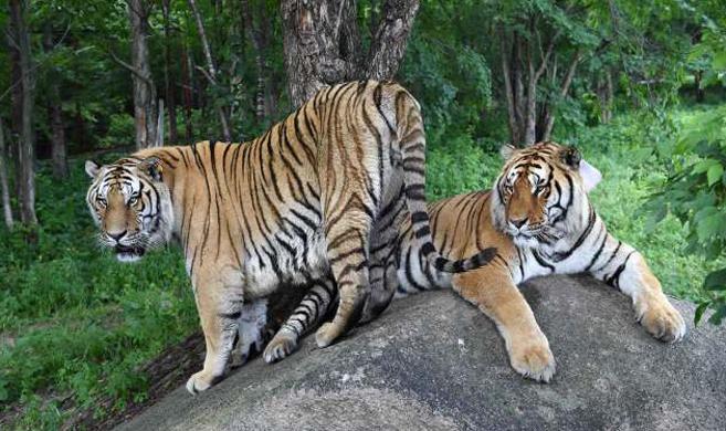 每年约有50只虎宝宝在此降生