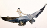 摄影师抓拍两只苍鹭空中抢食罕见瞬间