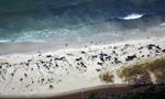 智利再发鲸鱼集体死亡事件 南部海滩现70具尸体