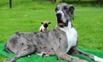 世界最高狗邂逅英国最小狗 相处融洽