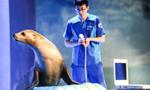 哈尔滨极地馆:给海狮做孕检