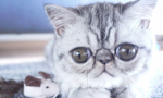 丹麦小猫拥有奇异大眼 睡觉时仍半睁