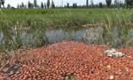 西红柿滞销 农户倾倒入渠