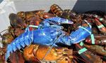 美渔民捕获罕见蓝色龙虾 系基因变异结果