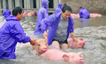 """南方水灾死亡畜禽调查:数万头""""洪水猪""""去哪了?"""